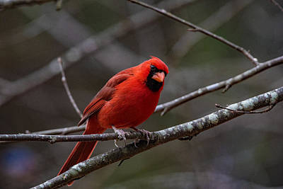 Photograph - A Red Bird In February by John Harding