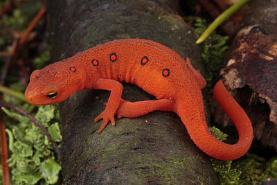 Newts Photograph - A Red Eft Crawls On The Forest Floor by George Grall