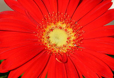 Photograph - A Red Explosion by Sheila Brown