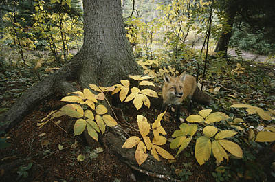 A Red Fox On Isle Royale In Lake Art Print by Annie Griffiths
