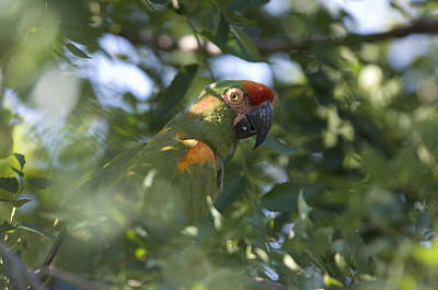 A Red-fronted Macaw At The Sedgwick Art Print by Joel Sartore