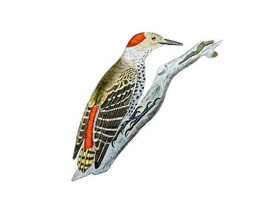 Woodpecker Drawing - A Red Headed Woodpecker 1 by Douglas Barnett