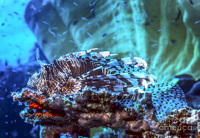 Animals Photos - A Red Lionfish Resting On A Coral Reef by Michael Wood