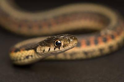 Garter Snake Photograph - A Red-sided Garter Snake Found On A Farm by Joel Sartore