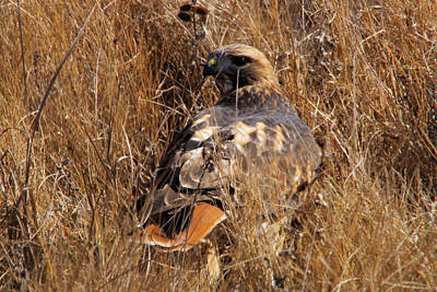 Red Tail Hawk Photograph - A Red Tailed Hawk  by Jeff Swan