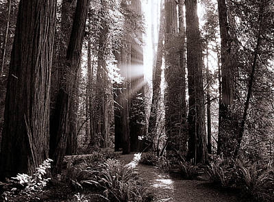 Photograph - A Redwood Forrest  by Thomas Bomstad