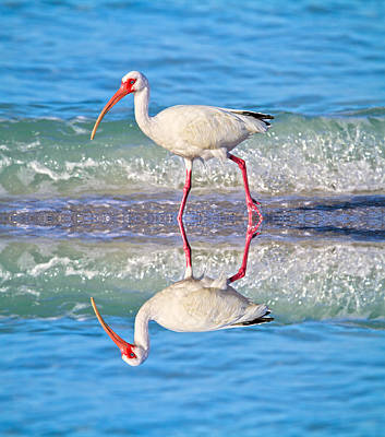 Ibis Photograph - A Reflective Walk by Betsy Knapp