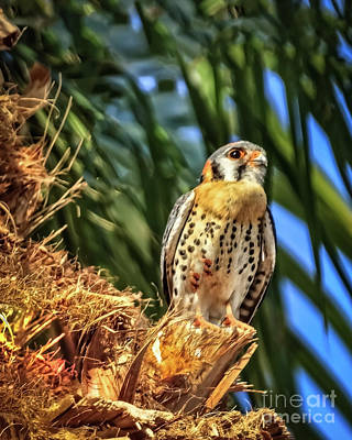 Photograph - A Resting American Kestrel by Robert Bales