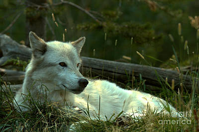 Photograph - A Resting Gray Wolf by Adam Jewell