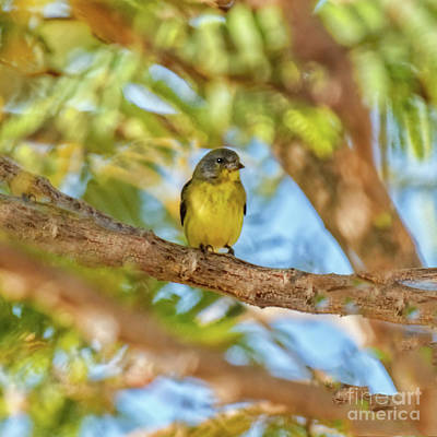 Photograph - A Resting Lesser Goldfinch by Robert Bales