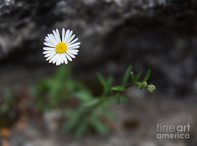 Photograph - A Rocky Bloom by Suzanne Luft