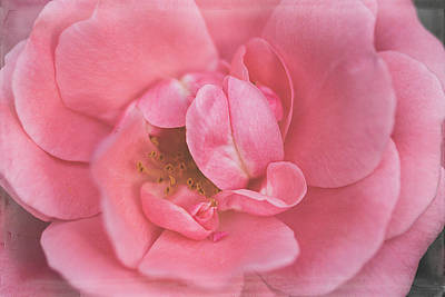 Photograph - A Rose by Cindi Ressler
