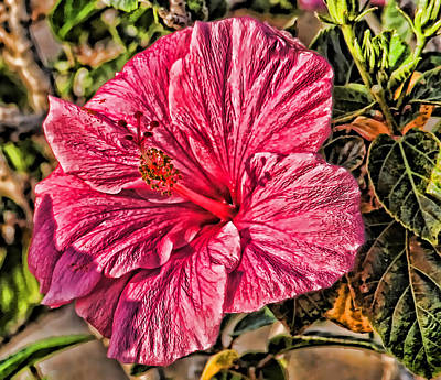 Roses Photograph - A Rose Colored Hibiscus by HH Photography of Florida