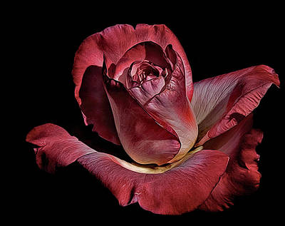 Photograph - A Rose by David March