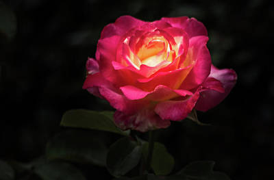 Photograph - A Rose For Love by Ed Clark