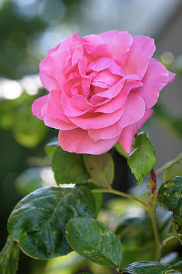Photograph - A Rose For You by Keith Boone