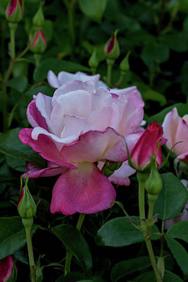 Photograph - A Rose Garden Awakens by John Haldane