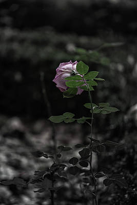 Photograph - A Rose In The Dark by Edgar Laureano