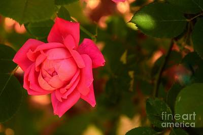 Photograph - Reddish Pink Rose In The Shadows by Bob Sample