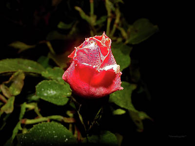 Photograph - A Rose In The Spotlight by Harold Zimmer