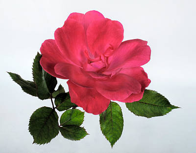 Photograph - A Rose Is A Rose by David and Carol Kelly