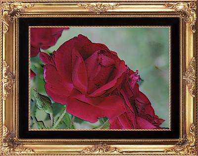 Photograph - A Rose Is A Rose Framed by Cathy Harper