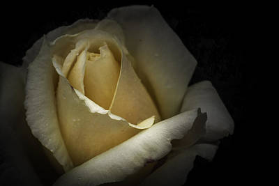 Print featuring the photograph A Rose by Ryan Photography