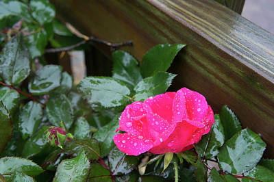 Outoors Photograph - A Rose Waiting In The Rain by Adam Gladstone