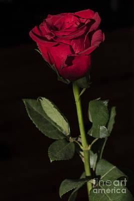 Photograph - A Rose's Quest by Joann Long