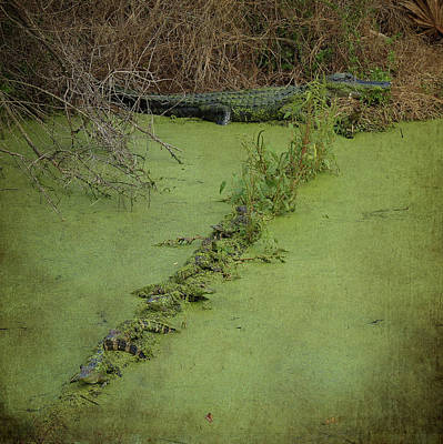 Photograph - A Row Of Baby Gators  by Carla Parris