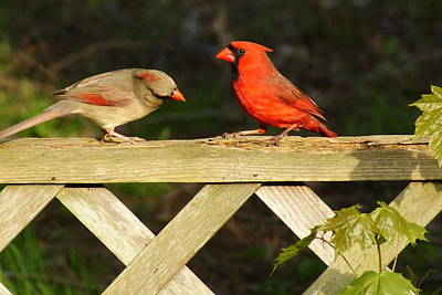Photograph - A Royal Couple - Cardinal Birds by Margie Avellino