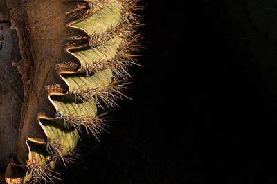 Photograph - A Saguaro Section by Dennis Eckel