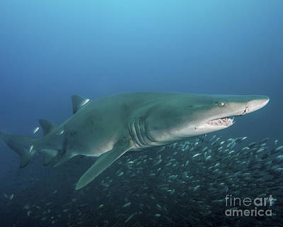 Animals Photos - A Sand Tiger Shark Above A School by Brent Barnes
