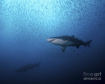 Animals Photos - A Sand Tiger Shark And School Of Cigar by Brent Barnes