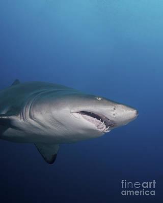 Animals Photos - A Sand Tiger Shark Off The Coast by Brent Barnes