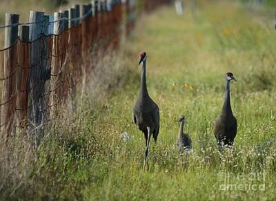 Photograph - A Sandhill Crane Affair by Patricia Twardzik