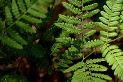 Photograph - A Savanna Fern by Tim Good