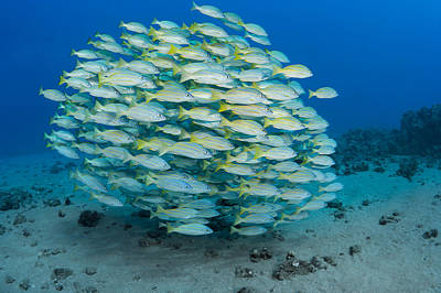 A School Of Bluestripe Snapper Art Print