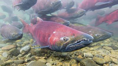 A School Of Chinook Salmon Art Print by Tim Grams