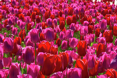 Photograph - A Sea Of Pinks by Marie Leslie