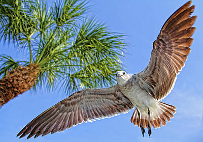 Photograph - A Seagull Flyby by HH Photography of Florida