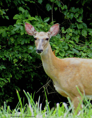 Photograph - A Serious Deer by Kimmary MacLean