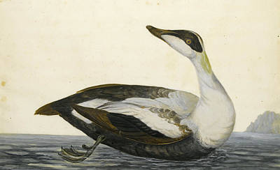 Drawing - A Shearwater by Peter Paillou