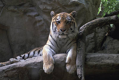 Henry Doorly Zoo Photograph - A Siberian Tiger At Omahas Henry Doorly by Joel Sartore