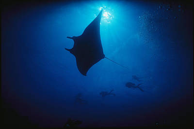 A Silhouetted Manta Ray Swims In Deep Art Print by Raul Touzon