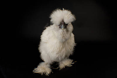 Captive Animal Photograph - A Silkie Bantam Chicken Gallus by Joel Sartore