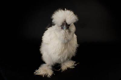 Captive Animals Photograph - A Silkie Bantam Chicken Gallus by Joel Sartore
