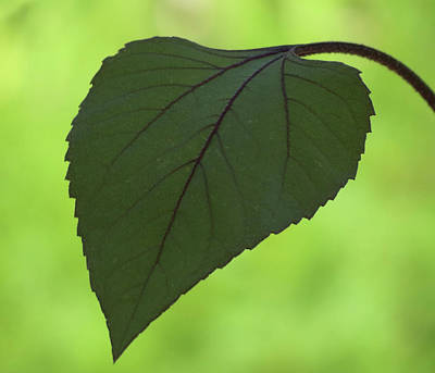 Photograph - A Single Leaf by MTBobbins Photography
