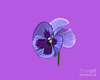 Photograph - A Single Purple Pansy On A Transparent Background by Terri Waters