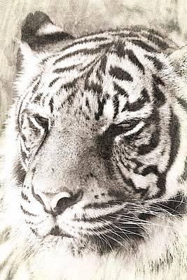 Aggressive Mixed Media - A Sketchy Tiger by Clare Bevan